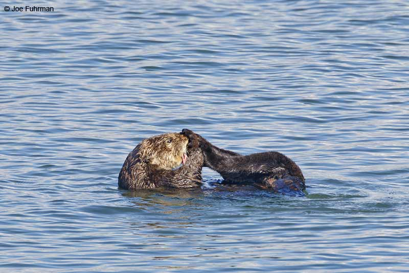 Sea Otter Monterey Co., CA Nov. 2012