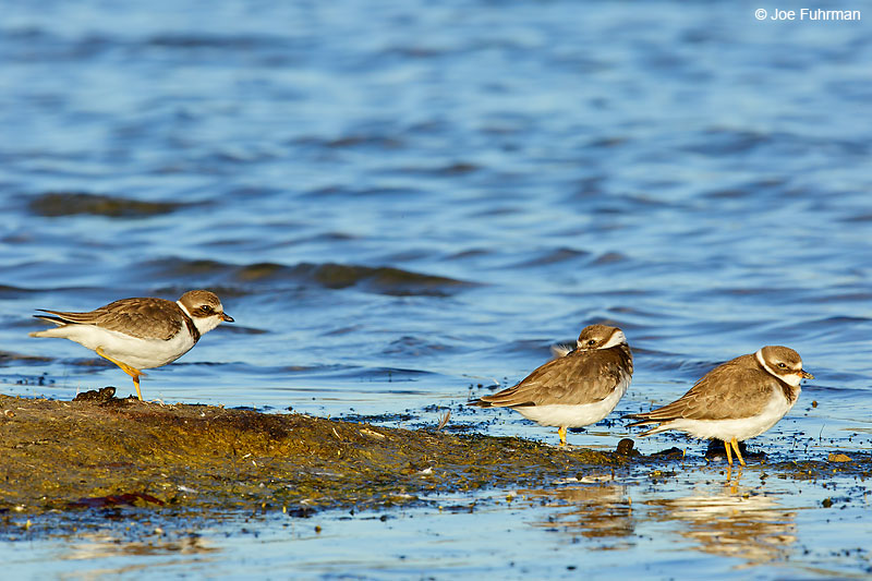 Semipalmated Plover Malibu Lagoon-L.A. Co., CA    September 2016