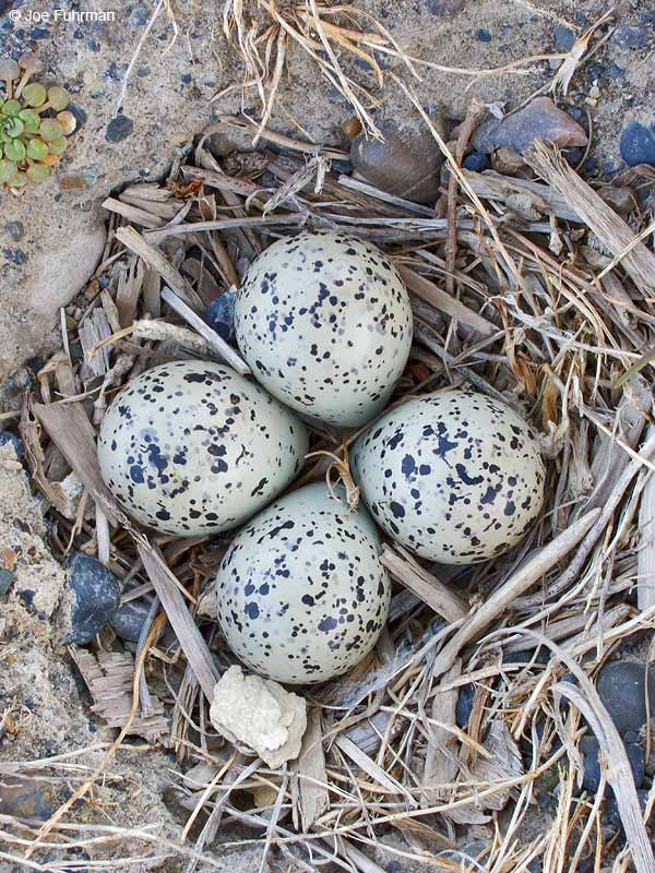 Semipalmated Plover nest Barrow, AK June 2012