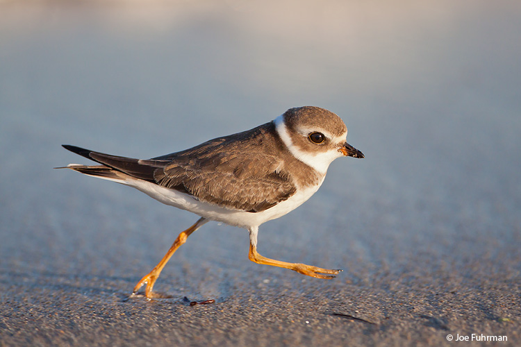 Semipalmated Plover L.A. Co., CA August 2009