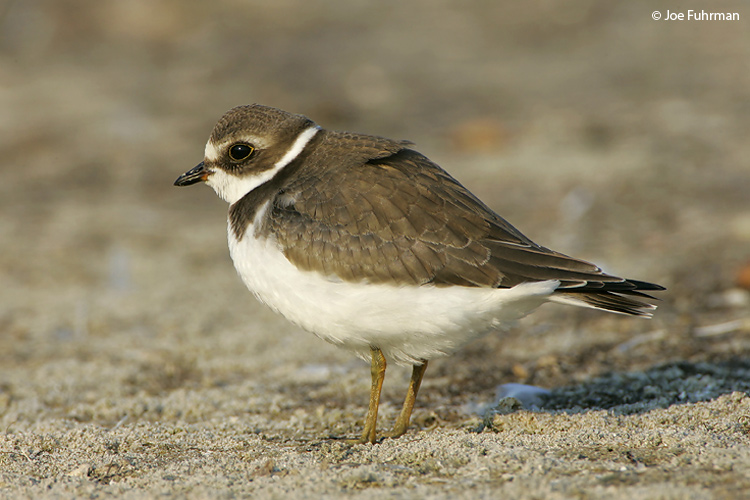 Semipalmated_Plover_NC5S2751