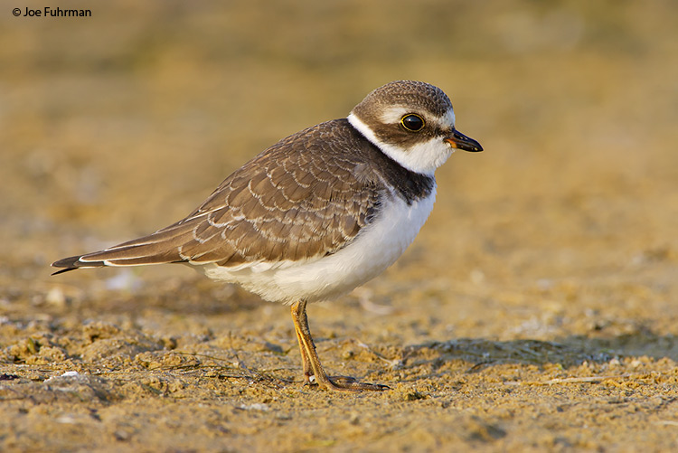 Semipalmated Plover L.A. Co., CA August 2007