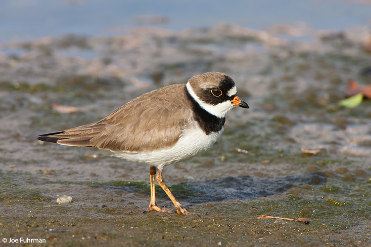 Semipalmated Plover L.A. Co., CA April 2008