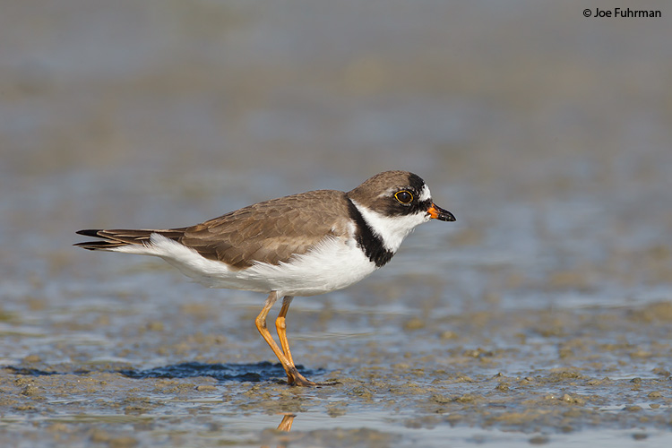 Semipalmated_Plover_W0G0398