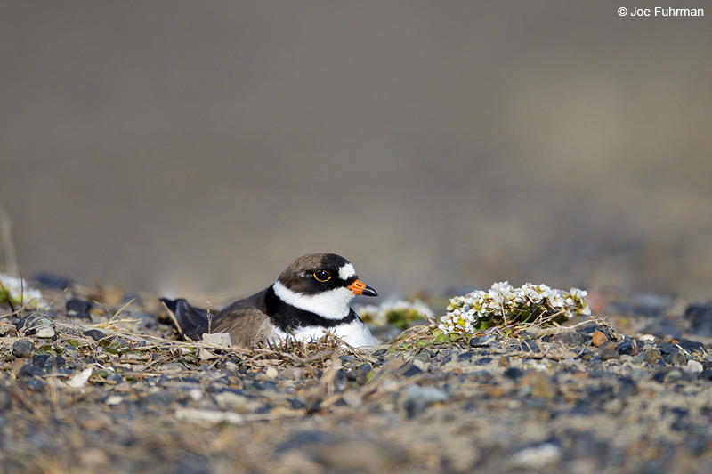 Semipalmated Plover-breeding Barrow, AK June 2012