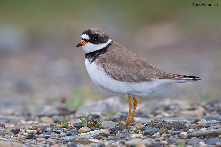 Semipalmated Plover Seward Peninsula, AK June 2011