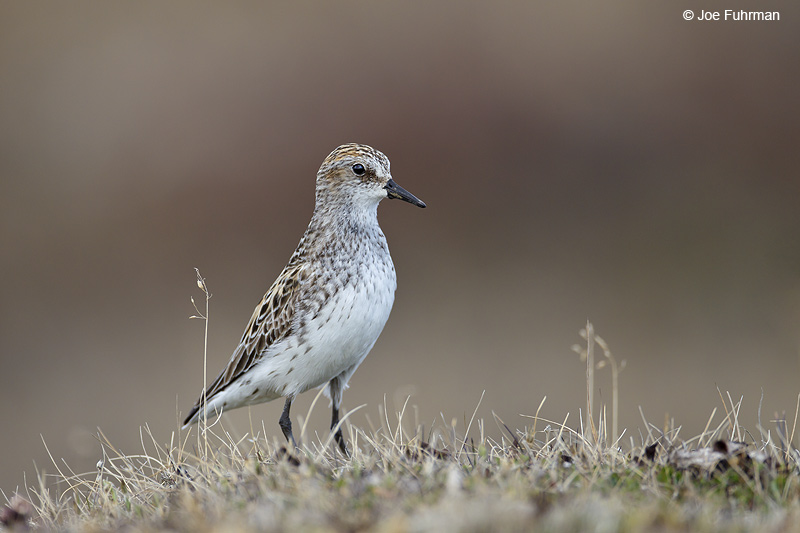 Semipalmated Sandpiper-breeding Barrow, AK June 2012