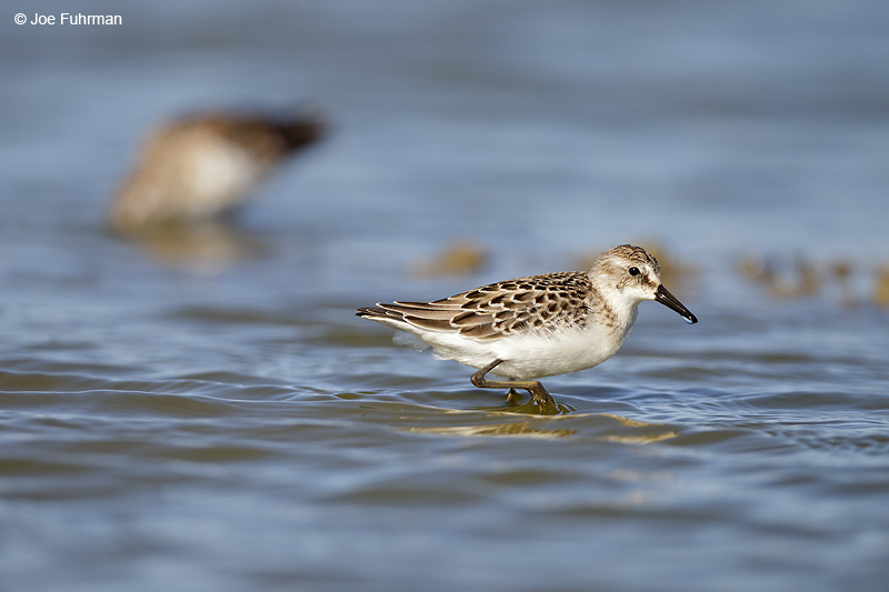 Sandpiper Ventura Co., CA August 2012
