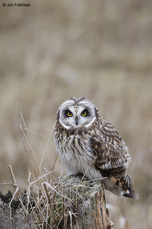 Short-eared Owl Ladner, B.C., Canada Feb. 2013