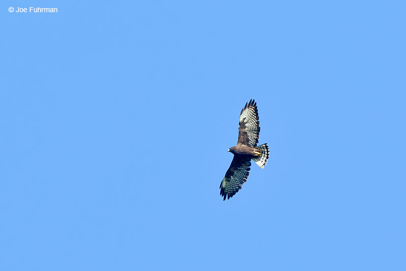 Short-tailed Hawk Nuevo Leon, Mexico   Sept. 2016