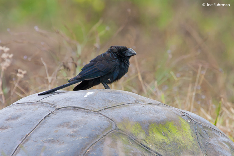 Smooth-billed Ani Galapagos Islands, Ecuador   December 2005