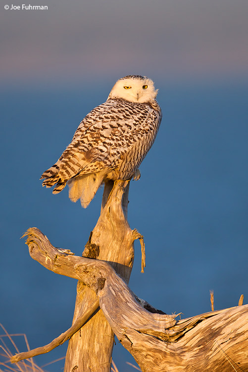 Snowy Owl Grays Harbor Co., WA Dec. 2011