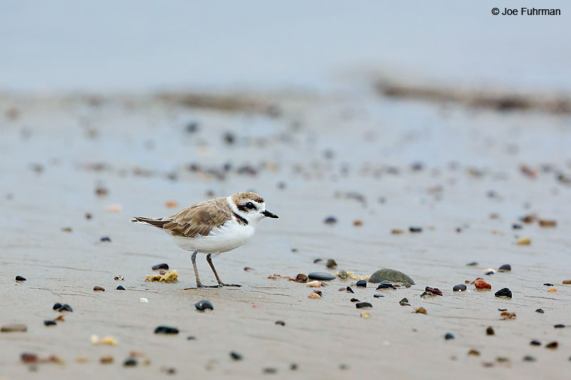 Snowy Plover L.A. Co., CA Aug. 2016