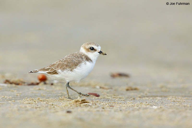 Snowy_Plover_07A5883