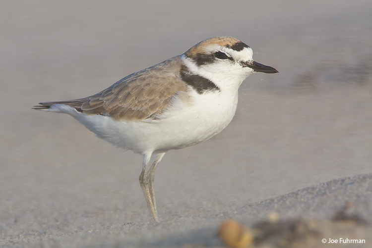 Snowy Plover breeding plumage, in sandstorm. L.A. Co., CA April 2009