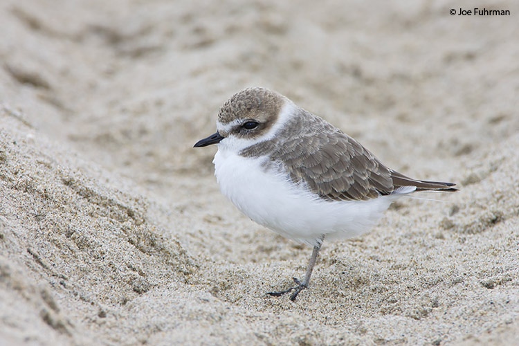 Snowy Plover L.A. Co., CA November 2007