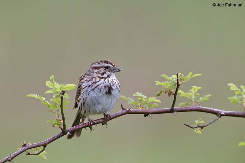 Song Sparrow Cattaraugus Co., NY    May 2012