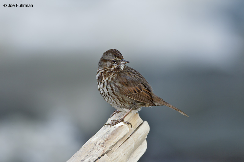 Song Sparrow Homer, AK   March 2011