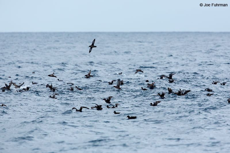 Sooty Shearwater Channel Islands National Park, CA July 2015