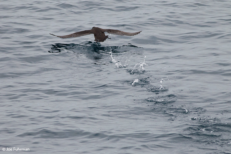 Sooty Shearwater Santa Barbara Co., CA Sept. 2011