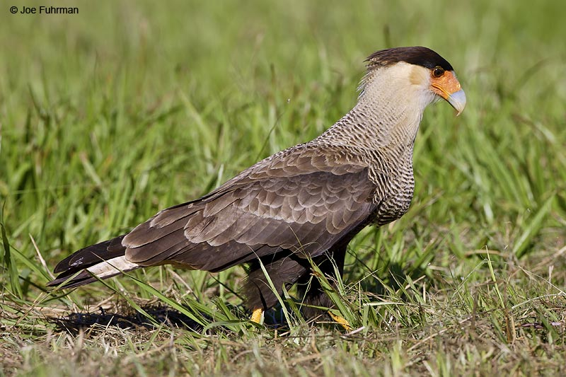 Southern Caracara Miranda, MS  BRZ March 2008 c. Joe Fuhrman