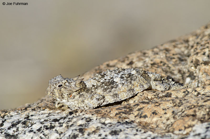 Southern_Desert_Horned_Lizard_MG_6508