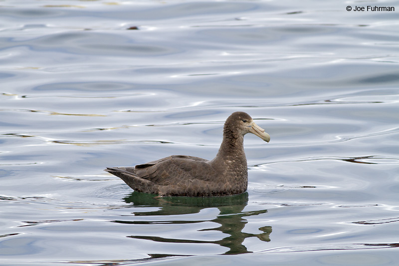 Southern Giant-Petrel Beagle Channel, Argentina Nov. 2010