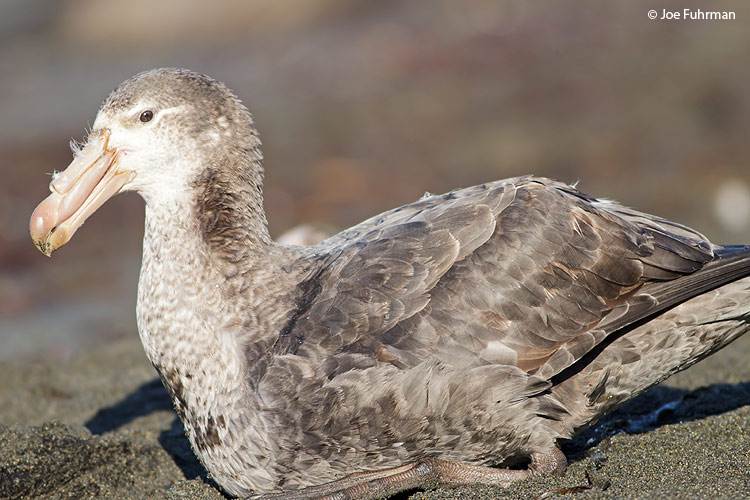Antarctic Giant Petrel (Southern) Cooper Bay, South Georgia Island Nov. 2010