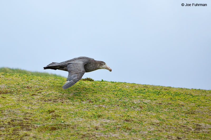 Southern Giant PetrelAuckland Island, New Zealand Nov. 2014