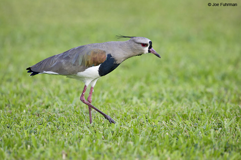 Southern Lapwing Iguazu, ARG March 2008 c. Joe Fuhrman