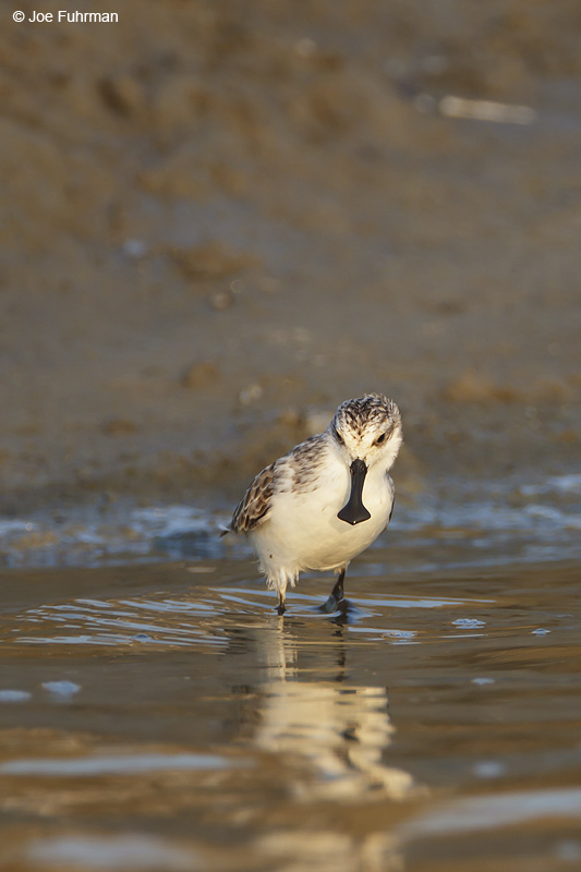 Spoon-billed Sandpiper Thailand   Feb. 2012