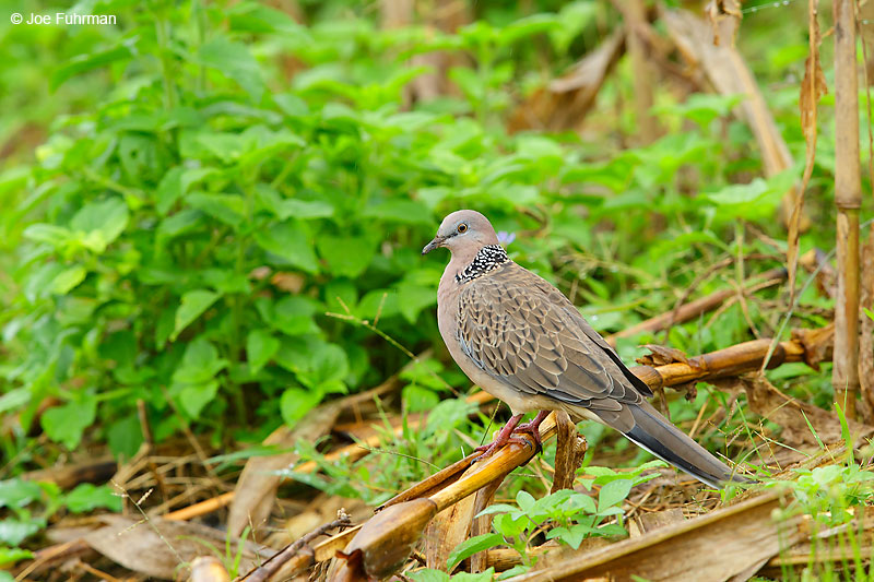 Spotted Dove Thailand October 2015