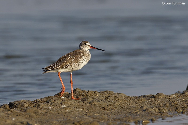 Spotted Redshank Thailand   Feb. 2012