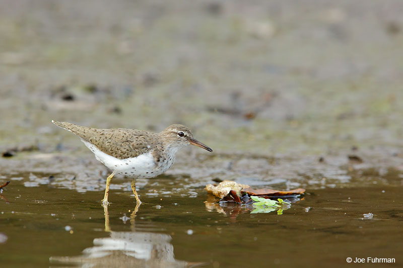 Spotted Sandpiper San Blas, Nayarit, Mexico April 2015