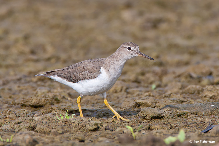Spotted Sandpiper winter plumage L.A. Co., CA April 2009