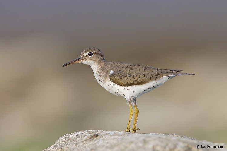 Spotted Sandpiper L.A. Co., CA April 2008