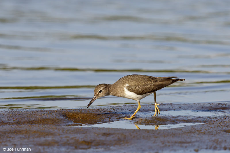 Spotted Sandpiper winter plumage Ameca River Lagoon-Nay., Mexico March 2013