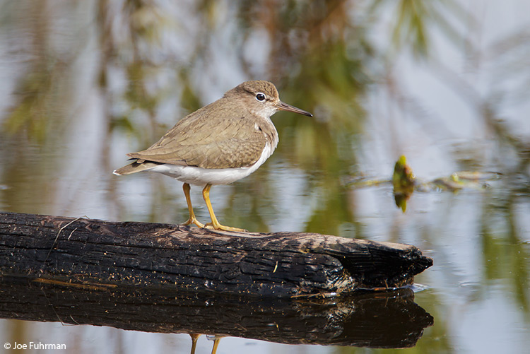 Spotted Sandpiper San Diego Co., CA Feb. 2011