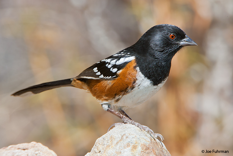 Spotted Towhee L.A. Co., CA   Oct. 2005