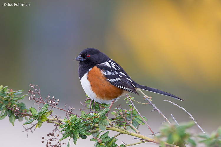 Spotted Towhee L.A., CA   Feb. 2011