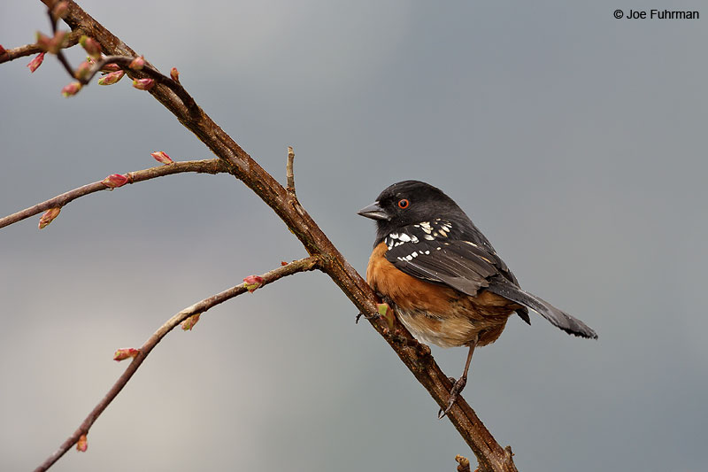 Spotted Towhee (oregonus sub-species) Vancouver, B.C., Canada  Feb. 2013