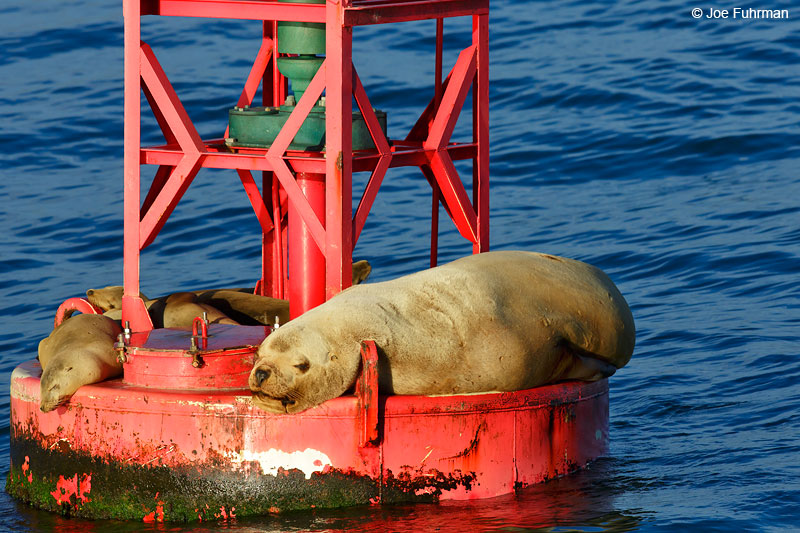 Steller Sea Lion Ventura Co., CA   Feb. 2015