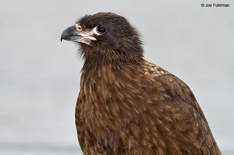 Striated_Caracara_MG_7154