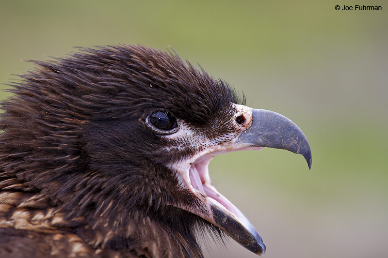 Striated_Caracara_MG_7169