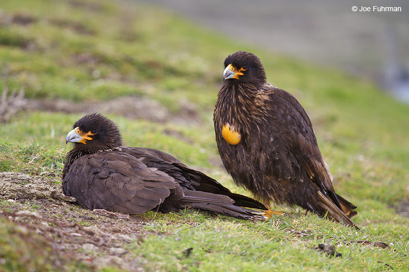 Striated_Caracara_MG_7202