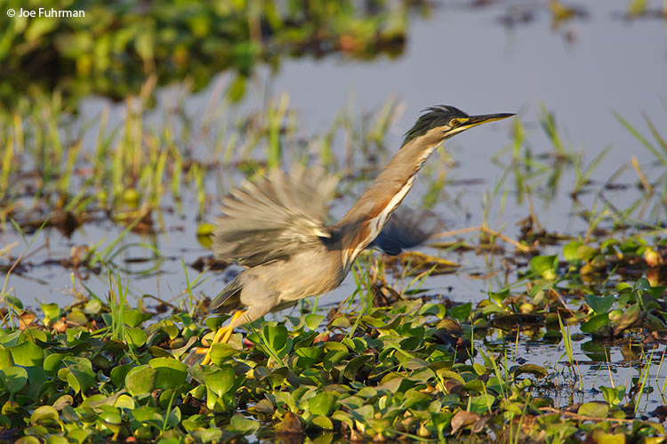 Striated Heron Hato El Cedral, Venezuela   February 2009