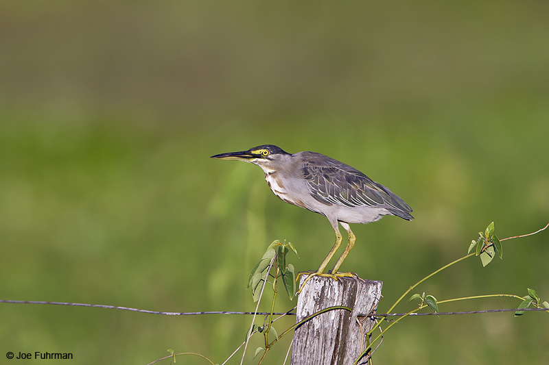 Striated Heron Miranda, MS  BRZ March 2008 c. Joe Fuhrman