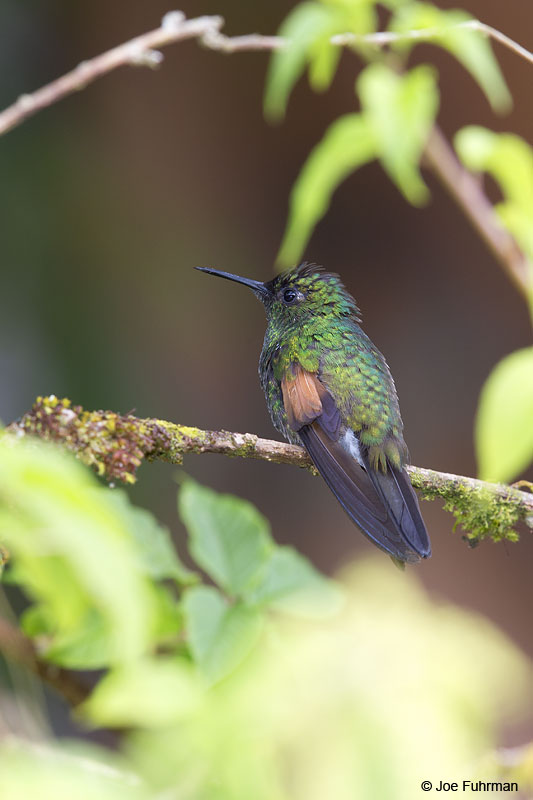 Black-bellied Hummingbird Parque Nacional Los Quetzales, Costa Rica   Jan. 2014