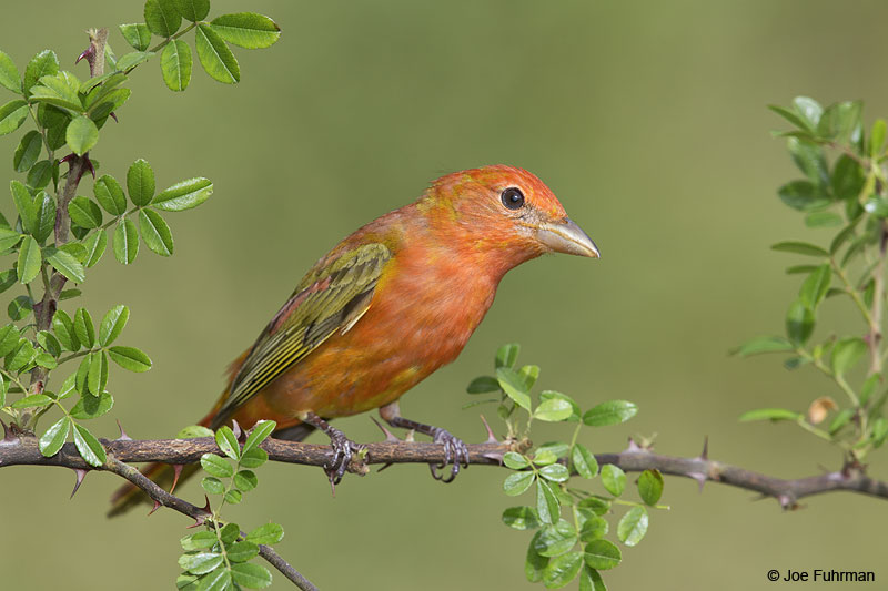 Summer Tanager Galveston, TX   May 2014