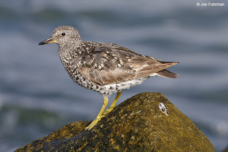 Surfbird L.A. Co., CA   August 2008